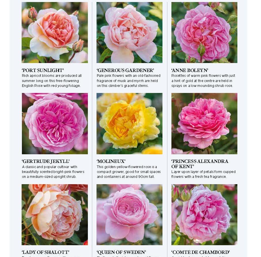 Wynyard Hall Rose Garden, designed by Alistair Baldwin, The English Garden Magazine, Page 5