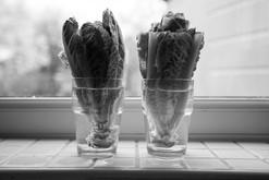 Lettuce - Week 1