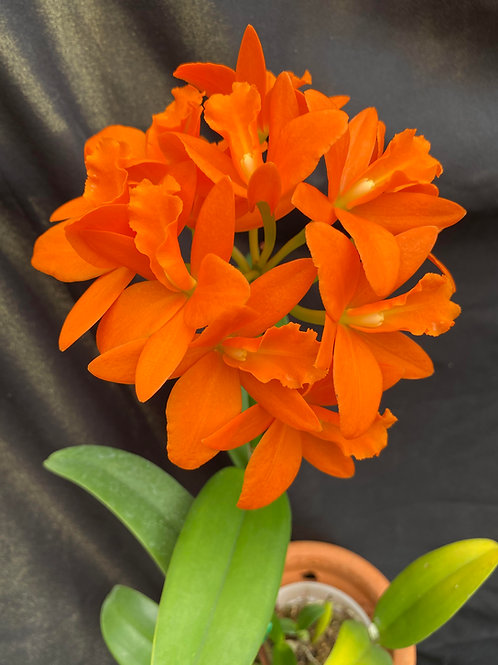 """Rth. Young-Min Orange """"Golden Satisfaction""""."""