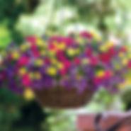 calibrachoa mini petunia.jpg