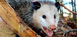 Opossum Removal Charlotte NC