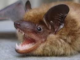 Bat Removal Charlotte NC