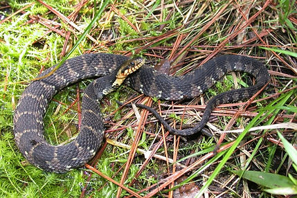 Banded Watersnake Charlotte