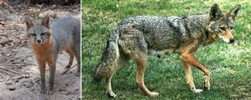 Coyote removal Charltte