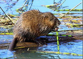 Muskrat Removal Charlotte NC