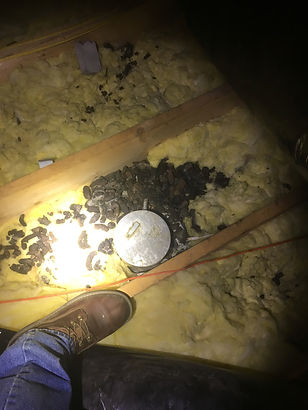 raccoon droppings in attic