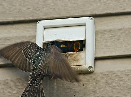 Birds in vent Charlotte