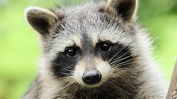 Raccoon Removal Charlotte NC