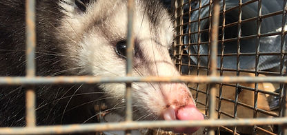 Opossum Removal Charlotte