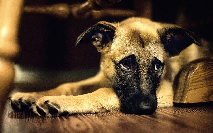 Cute Dog Dog Wallpaper 2.jpg