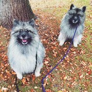 Catching raindrops and leaves on this chilly fall🍂☔️🍂 🐶Juno and Penny🐶