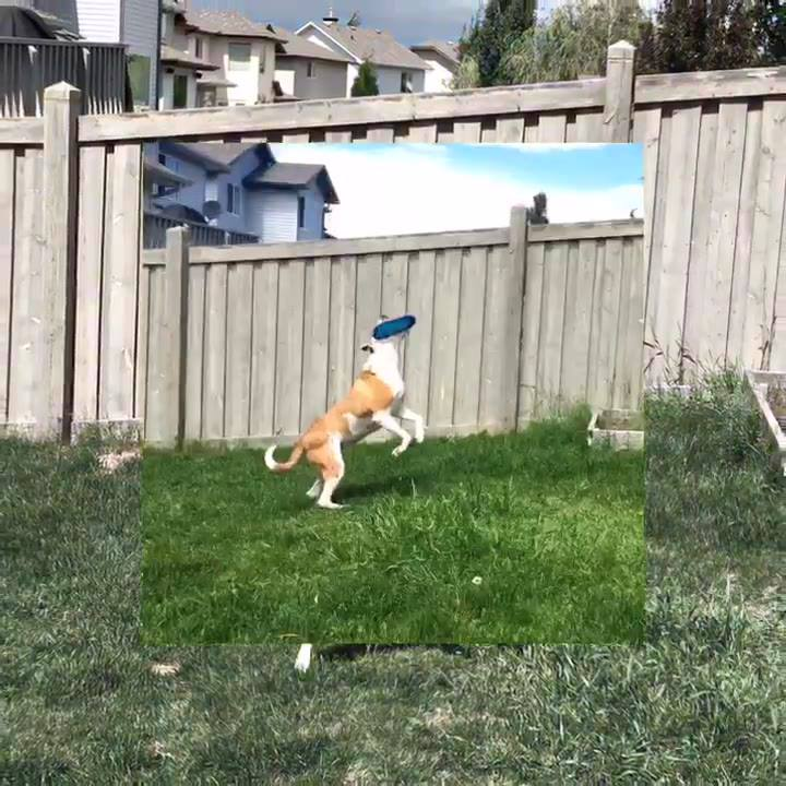 He can do tricks, he can fetch, and now he flies for the frisbee!! This pitbull is mixed of all breeds🐶