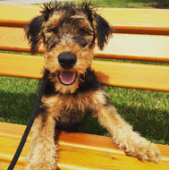 She can't jump on this bench yet but she knows how to utilize it for a cute pose📸🐶 #airedaleterrier #photogenicpup #dogsloveparks #peekaboop