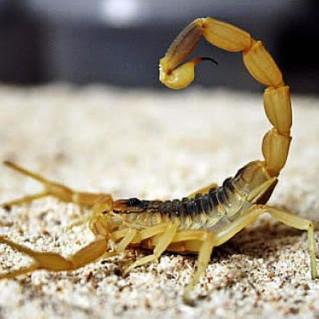 Cuidado com o escorpião-amarelo!