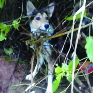 Cadelinha é salva depois de dois dias presa no mato em São Sebastião do Caí