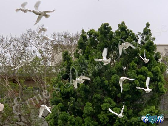 Doves in Air_1.jpg