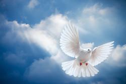 Large Dove in Sky