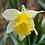 Thumbnail: Wild Daffodil Narcissus Lobularis Bulb