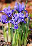 Iris Reticulata Dwarf Blue blooming in s