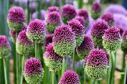 Allium Sphaerocephalon Herbaceous Perennial 'Drumstick'