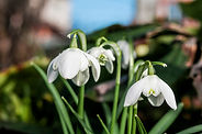 Double Snowdrop (Galanthus nivalis f. pl