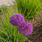 Allium hollandicum 'Purple Sensation' (P