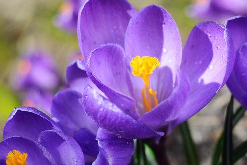 Crocus Blue Grand Maitre Lavender Blue