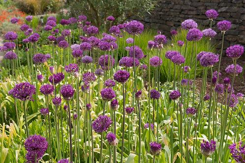 Allium Hollandicum 'Purple Sensation' Herbaceous Perennial
