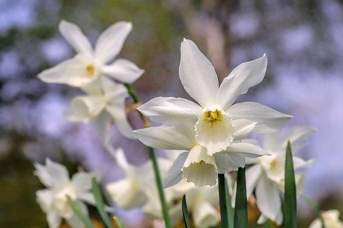 Thalia Miniature Daffodil Narcissus Bulb