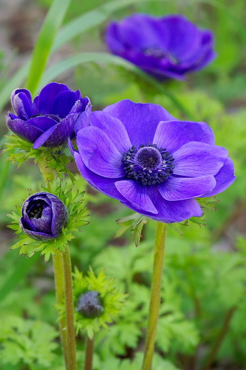 Anemone 'Harmony Blue' Herbaceous Perennial