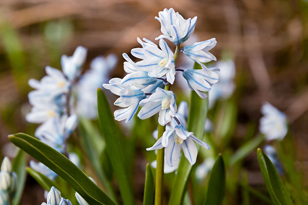Puschkinia scilloides libanotica blue fl