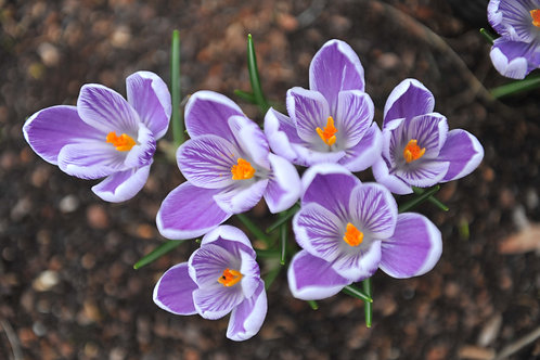 Crocus Striped 'King of Striped'