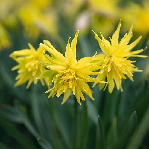 Rip Van Winkle Miniature Daffodil Narcissus
