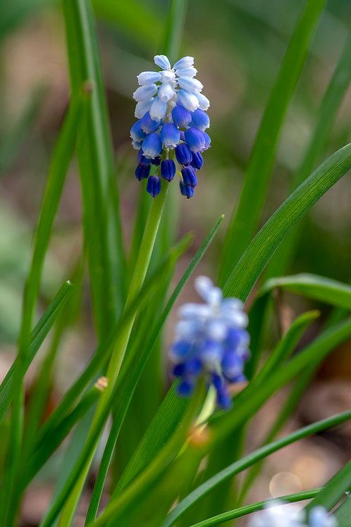 Muscari Peppermint Grape Hyacinth