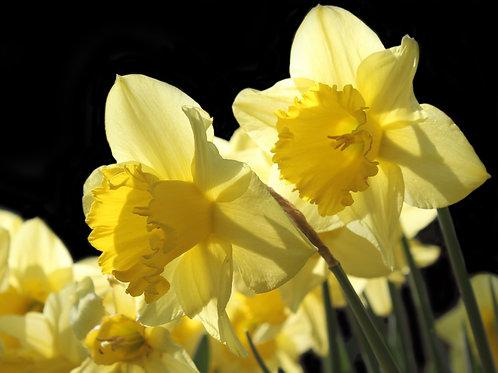 Daffodil 'King Alfred'  Bulb