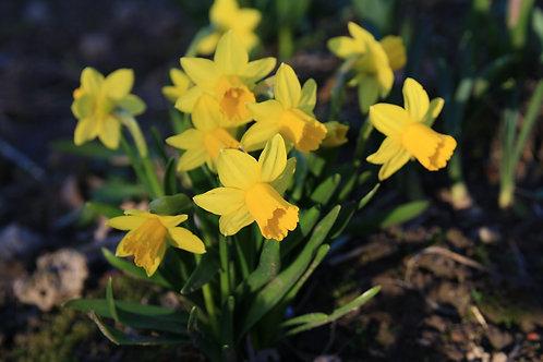 Narcissus Tete-a-tete  Miniature Daffodil