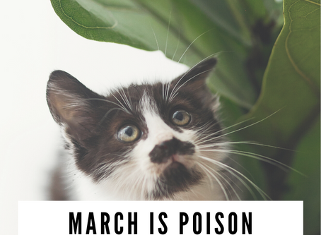 March is Poison Prevention Month and Yes, that Fiddle Leaf is Poisonous