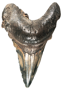 kisspng-jaw-fossil-group-shark-tooth-5b2