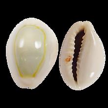 kisspng-cowry-seashell-cypraea-tigris-mo