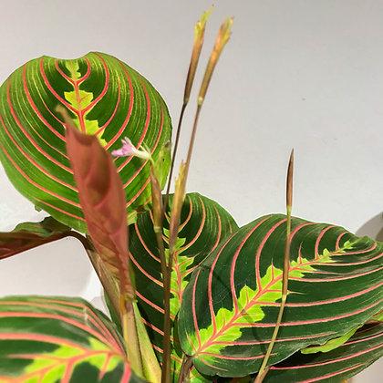 Blätter und Blüte Maranta Leuconeura Fascinator
