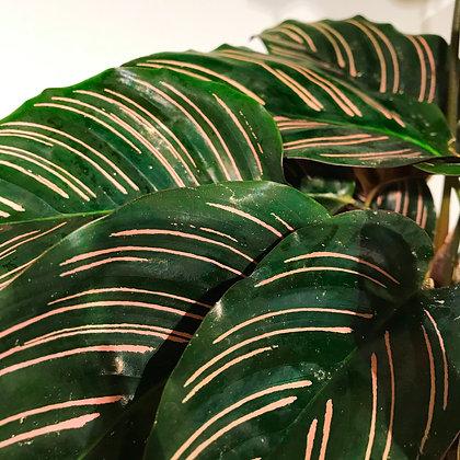 Blätter Calathea Ornata