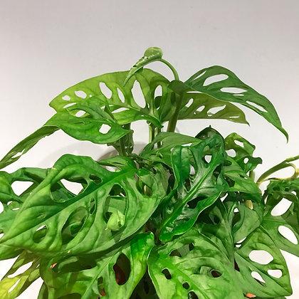 Blätter Monstera adensonii