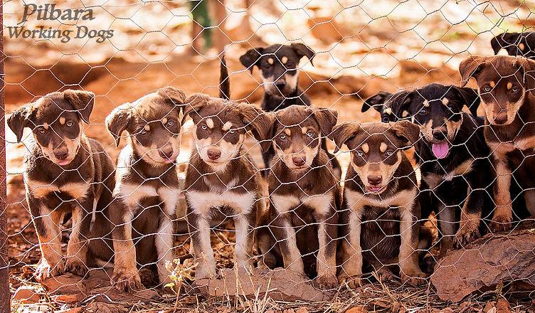Pilbara Pups