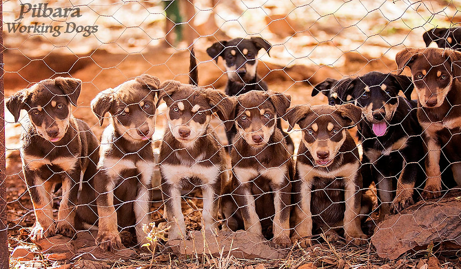 Pilbara Puppies