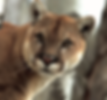 MountainLion.png