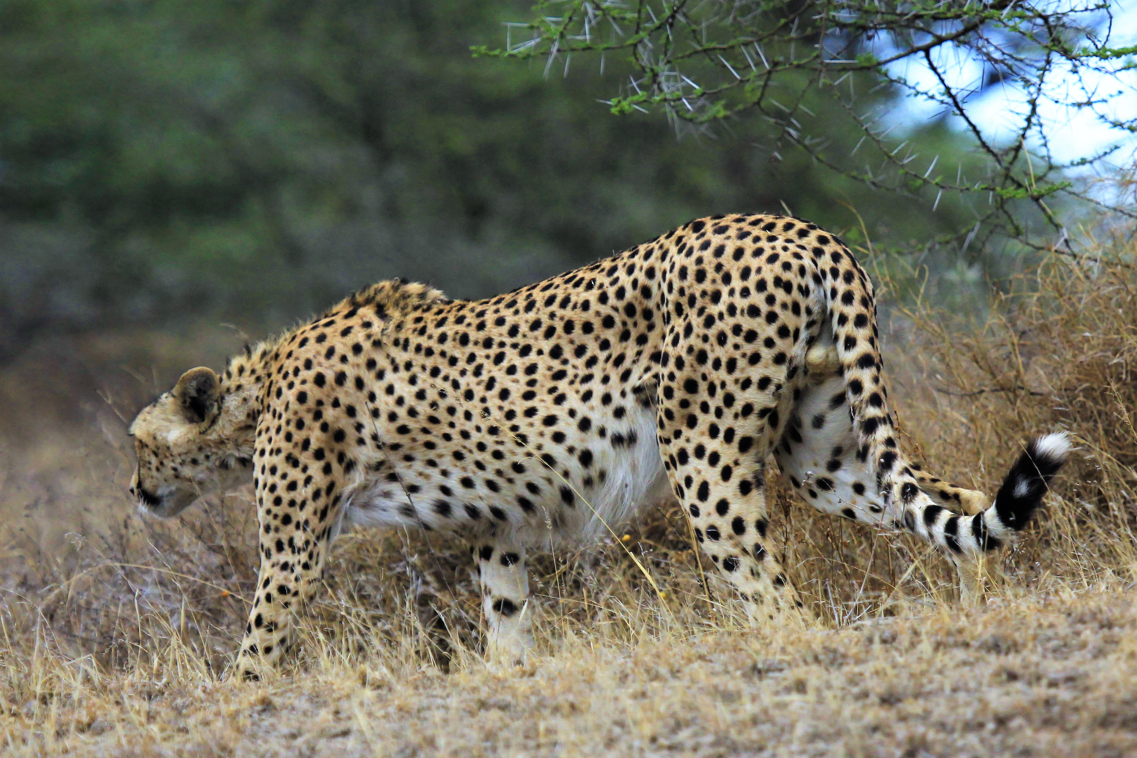 Cheetah on the prowl.
