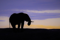 Elephant at Sunset