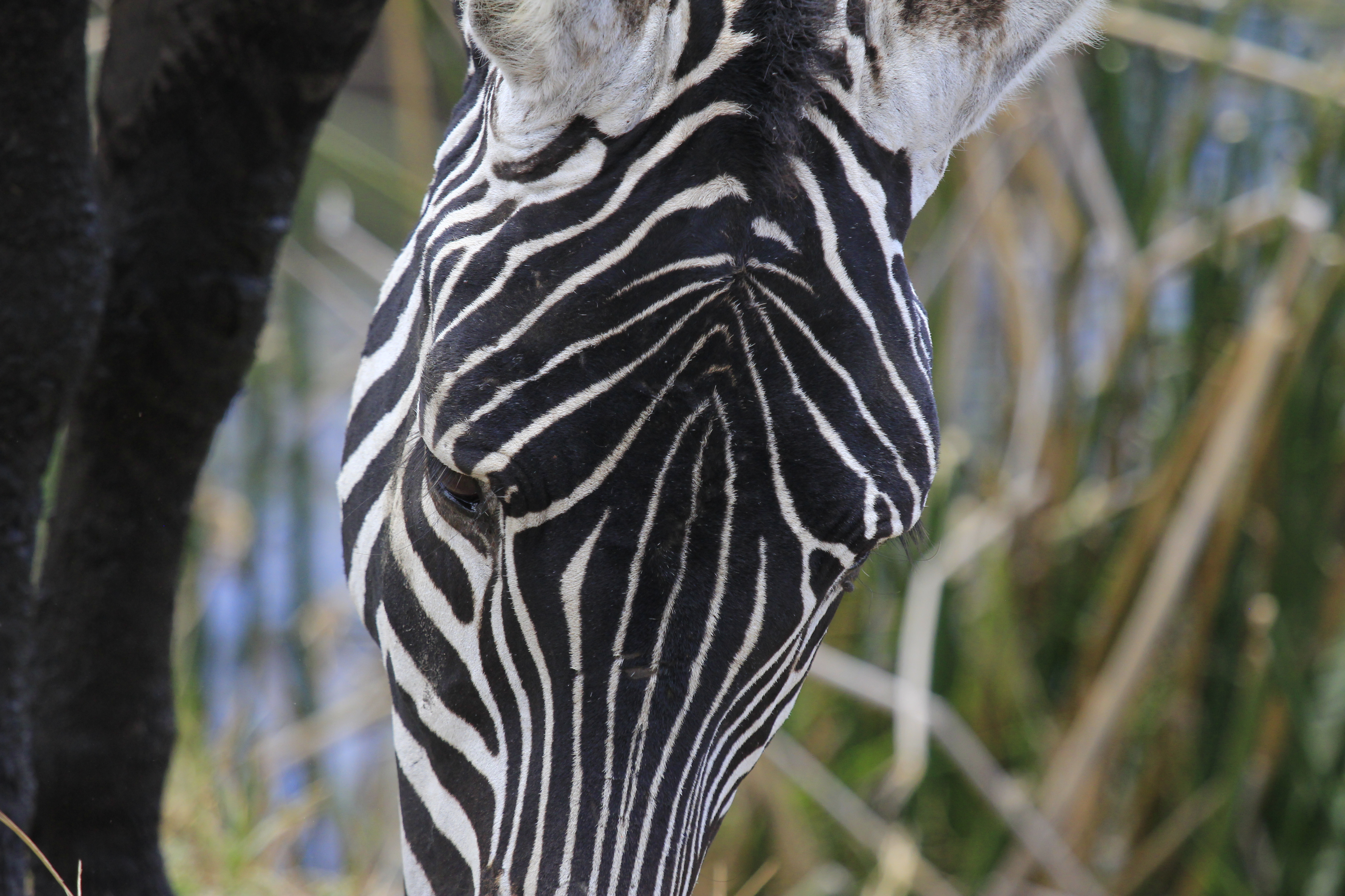 Zebra in Tarangire Park.