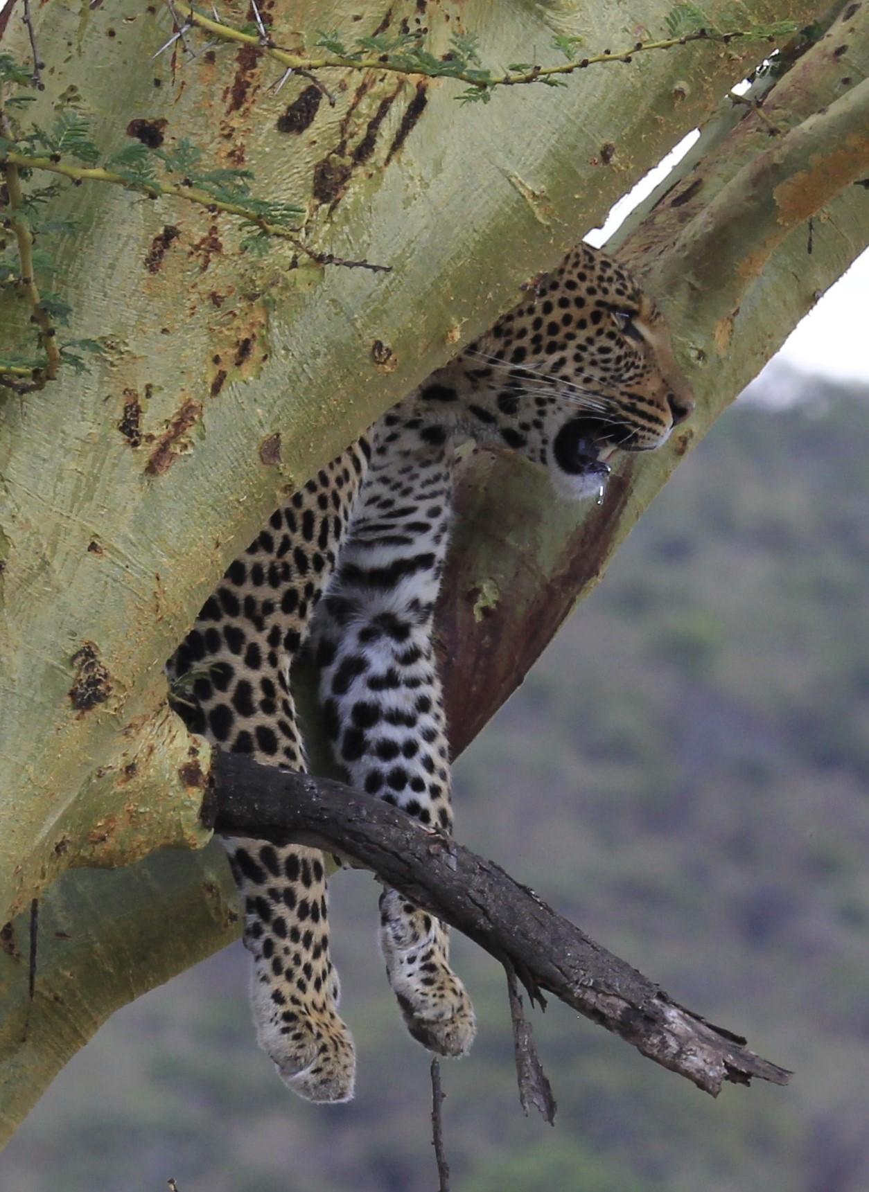 Leopard in a tree.