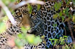 Close-up leopard Tanzania